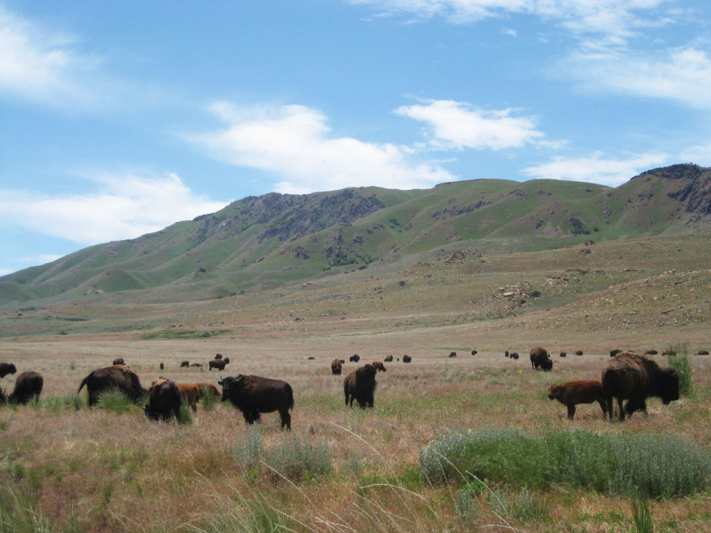 That buffalo herd (from the previous photo) up close. Frary Peak is the mountain in the background.