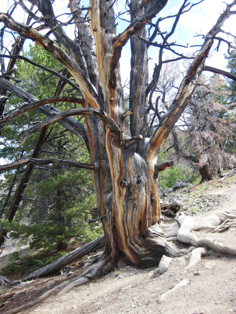A cool tree on the way to the summit