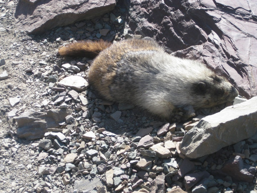 A sluggish marmot that scared the crap out of me when I nearly stepped on it.