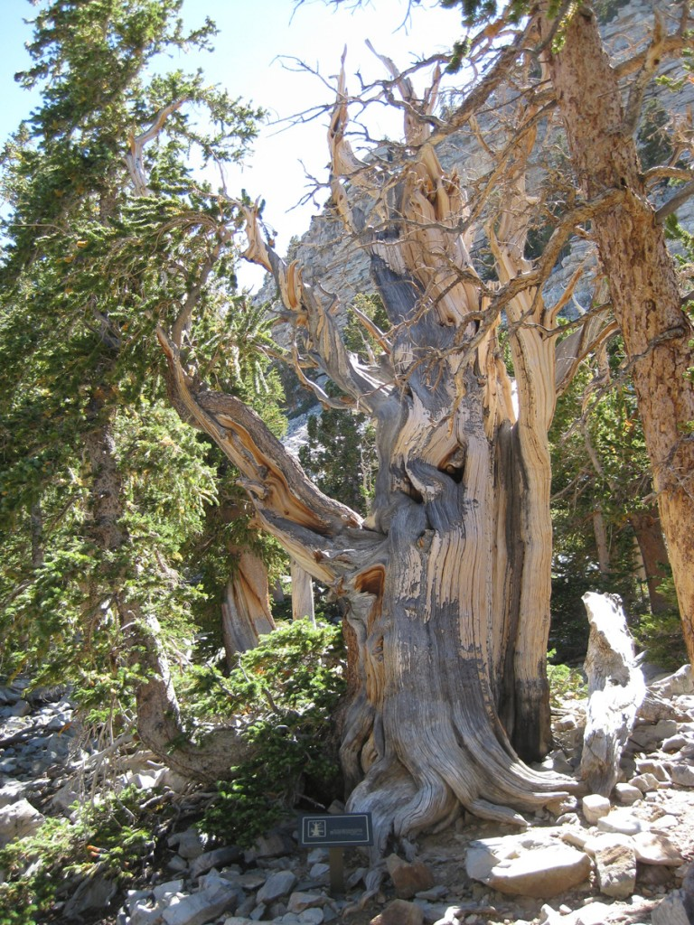 The 3200 year old bristlecone pine. So cool!