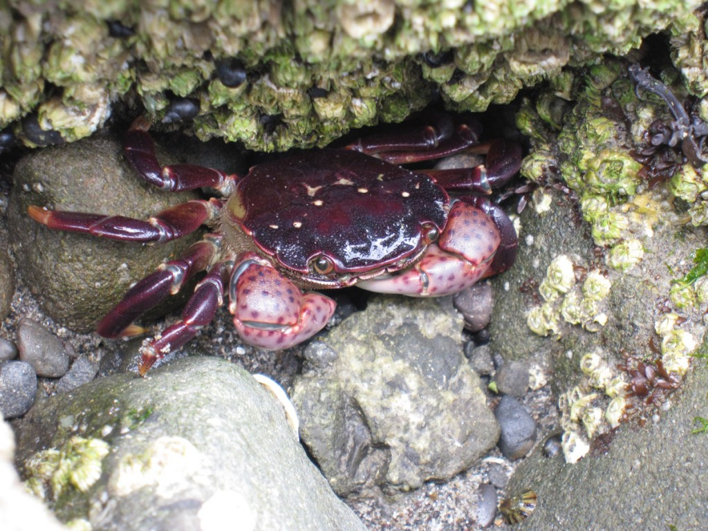 A shy crab.