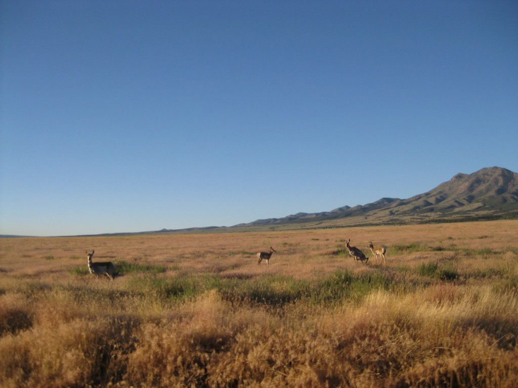 Some pronghorns. These are everywhere in the West Desert.