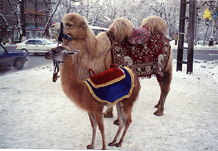 Camels on the street in winter.